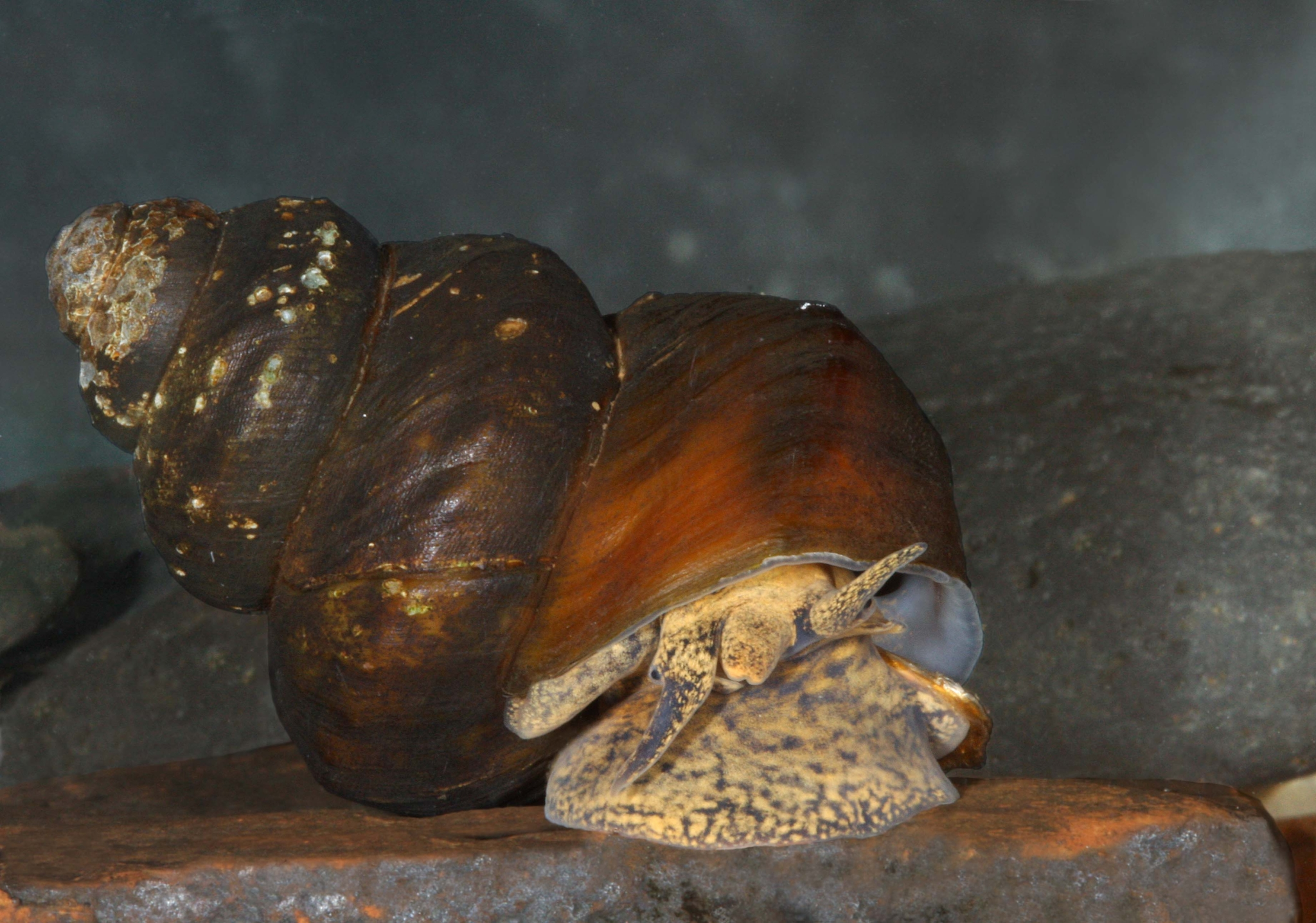Race to save Alabama's mussels and snails, some of the rarest creatures on Earth