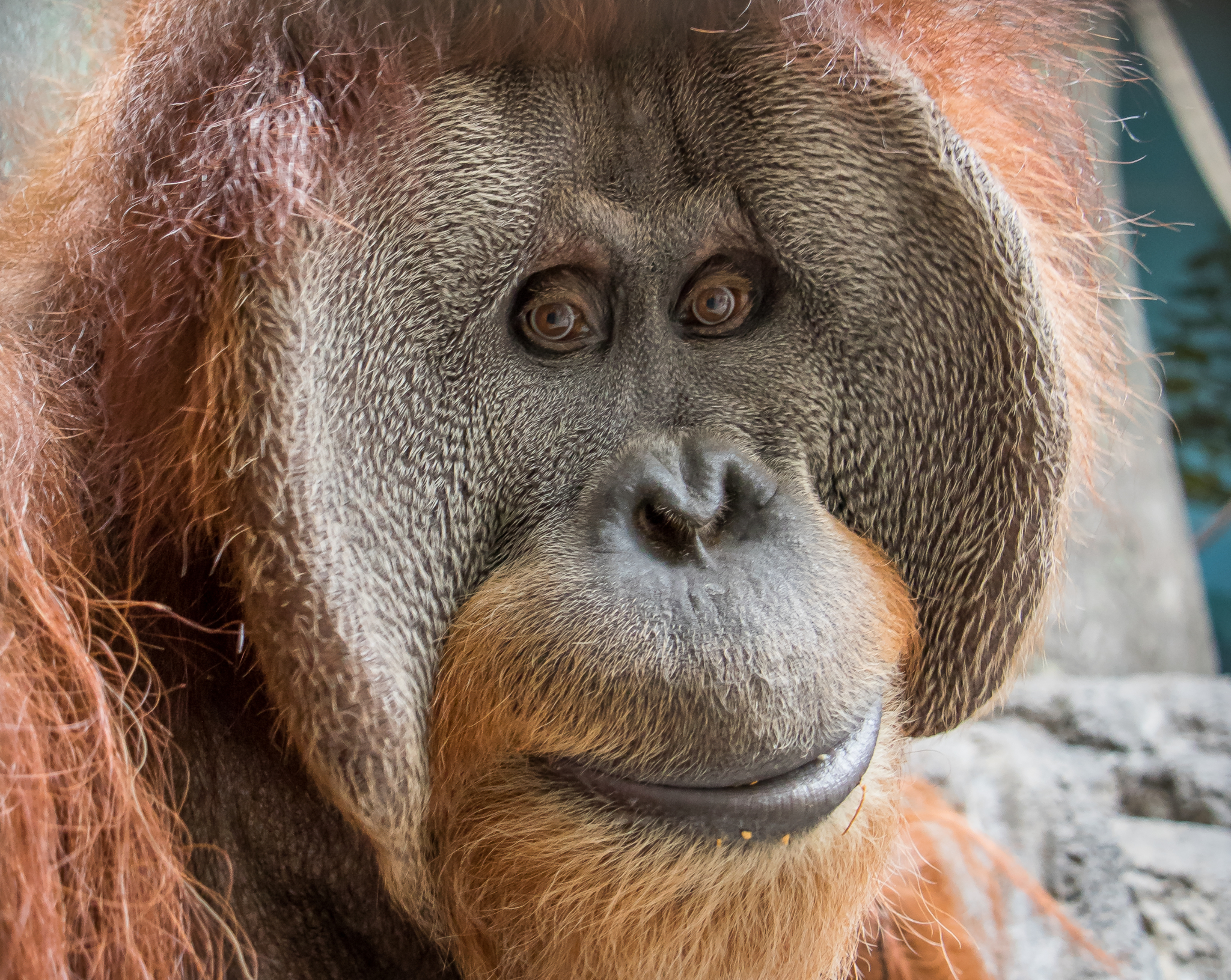 Love the viral sunglasses wearing Orangutan TikTok? Meet the 3 residents at the Birmingham Zoo